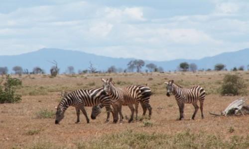 Zdjęcie KENIA / Tsavo East / Tsavo East National Park / Kenia - safari
