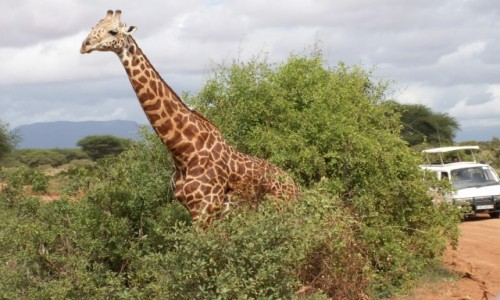 KENIA / Tsavo East / Tsavo East National Park / Kenia - safari