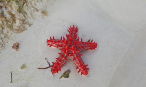 Zdjecie KENIA / wybrzeże Mombasy / plaża Diani / rozgwiazda