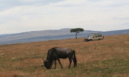 Zdjecie KENIA / Masai Mara / Sawanna / Samotna gnu