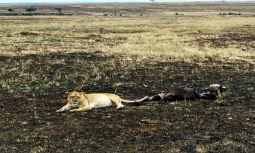 KENIA / Masai Mara / Sawanna / Lwica ze zdobyczą