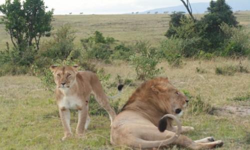 KENIA / Masai Mara / Sawanna / Władcy Sawanny