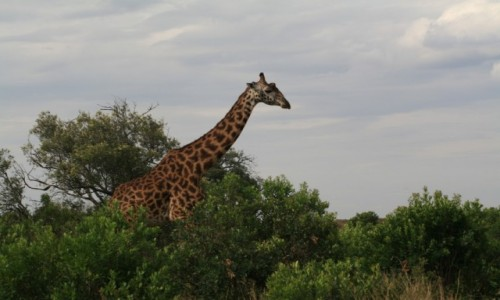 Zdjecie KENIA / Masai Mara / Sawanna / Jej wysokość z sawanny
