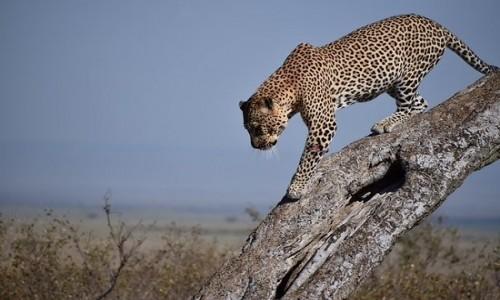 KENIA / coast / tsavo / kenii safari