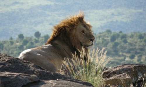 KENIA / Masai / Mara / Na obserwacji