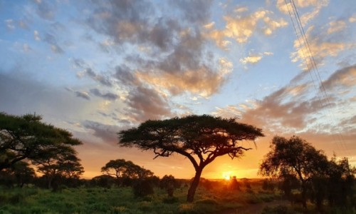 KENIA / Amboseli  / NP / Akacja o poranku