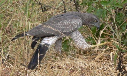 Zdjecie KENIA / Tsavo West National Park / Taita Hills / Jastrząb afrykański z wężem
