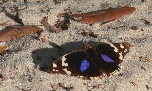 Zdjęcie KENIA / Kenia wschodnia / Arabuko Sokoke Forest / Motyl