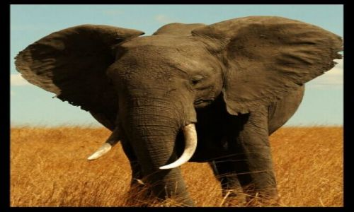 Zdjecie KENIA / Masai Mara / Masai Mara / Taaakie uszy