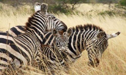 KENIA / Park Narodowy Tsavo West / w drodze do Mzima Springs / kochajmy się