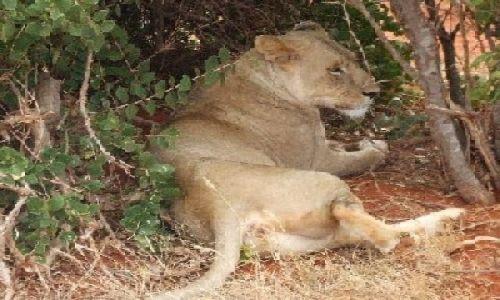 KENIA / Park Narodowy Tsavo East / w drodze do Ndololo Camp / sjesta