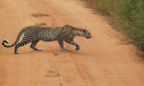 KENIA / Park Narodowy Tsavo West / w drodze do Ngulia Camp / kotek