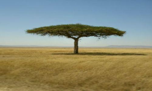 KENIA / Massai Mara / Park Massai Mara / Drzewo Parasolowe