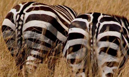 Zdjecie KENIA / Masai Mara / Masai Mara / sorry, że tyłem !