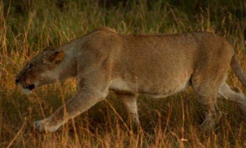 Zdjecie KENIA / Masai Mara / Masai Mara / skradam się ...