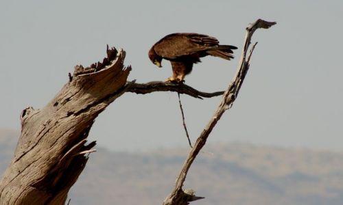 Zdjecie KENIA / Masai Mara / Masai Mara / danie z węża.