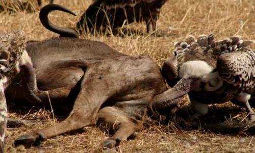Zdjecie KENIA / Masai Mara / Masai Mara / sępi świat