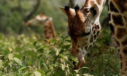 Zdjecie KENIA / Masai Mara / Masai Mara / żyrafy