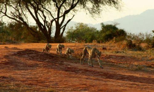 Zdjęcie KENIA / brak / Tsavo / Rodzina Gepardów II