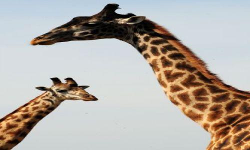 Zdj�cie KENIA / Masai Mara / sawanna / ***