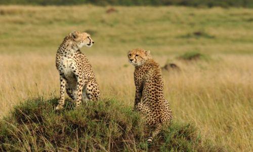 Zdjęcie KENIA / Masai Mara / sawanna / ***