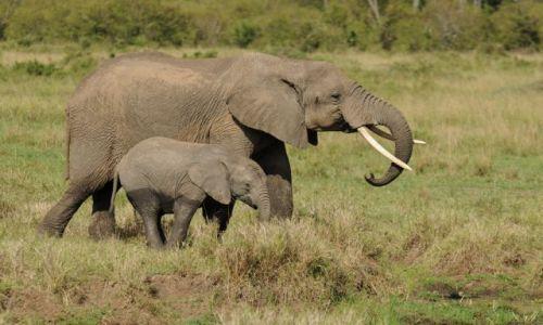 Zdjecie KENIA / Masai Mara / sawanna / ***