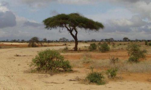 Zdjęcie KENIA / Tsavo / Tsavo East / drzewo