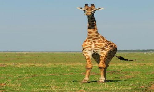 Zdjęcie KENIA / Masai Mara / sawanna / żyrafy
