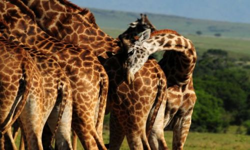 Zdj�cie KENIA / Masai Mara / sawanna / �yrafy