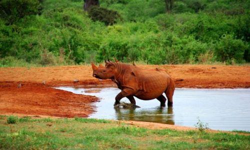 Zdjęcie KENIA / Tsavo West /  Rhino Sanctuary / Rudy nosorożec czarny  ;-)