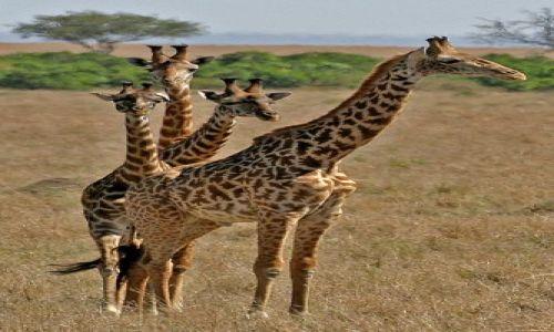 Zdjęcie KENIA / brak / Masai Mara / Żyrafa hybryda