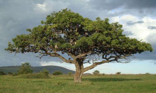 Zdjecie KENIA / brak / Park Masai Mara / Drzewko