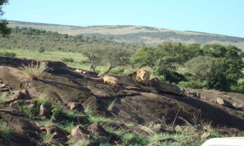 Zdjecie KENIA / brak / Park Masai Mara / Król Lew