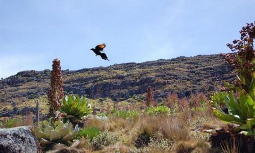 Zdjecie KENIA / Mount Kenya / Mackinder Valley - llittle bird / Hiking Mount Kenya - Point Lenana