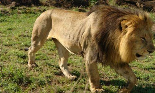 Zdjecie KENIA / brak / Masai Mara / z bardzo bliska