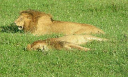 Zdjęcie KENIA / Masai Mara / Sawanna / Kociątka najedzone
