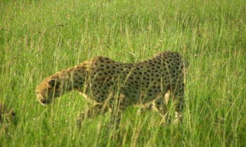 Zdjęcie KENIA / Masai Mara / sawanna / Kociątko głodne -wyrusza po śniadanko