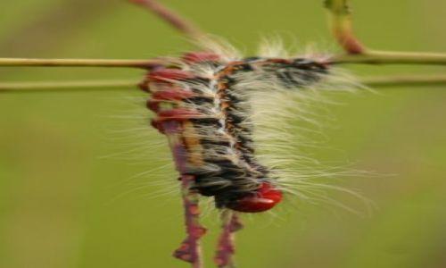 Zdjęcie KENIA / Kakamega / Kakamega - las deszczowy / Piękny robaczek z trującym futerkiem:)