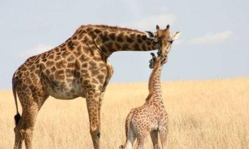 Zdjecie KENIA / Masai Mara / Masai Mara / Opiekuńcza żyrafa