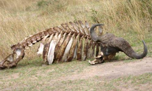 Zdjecie KENIA / Masai Mara / Masai Mara / żeberka