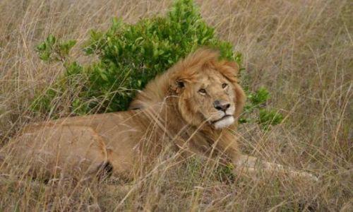 Zdjecie KENIA / Masai Mara / Masai Mara / odpoczynek króla