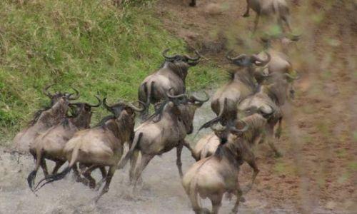 Zdjecie KENIA / Masai Mara / Masai Mara / Przeprawa gnu przez rzekę