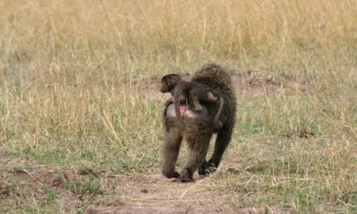 Zdjecie KENIA / Masai Mara / Masai Mara / Do domu na obiad