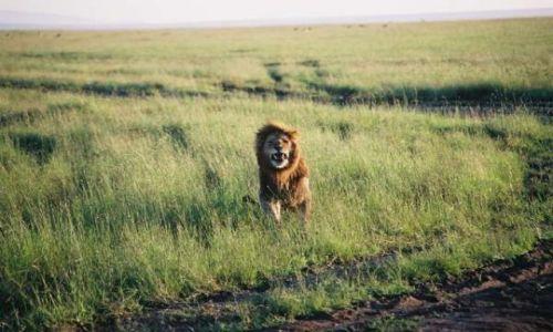 Zdj�cie KENIA / Masai Mara / sawanna / Kiciu� 2