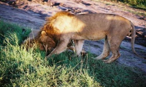 Zdj�cie KENIA / Masai Mara / sawanna / Pobudka.Czochranie zamiast kawy