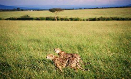 Zdj�cie KENIA / Masai Mara / sawanna / Polowanie czas zacz��