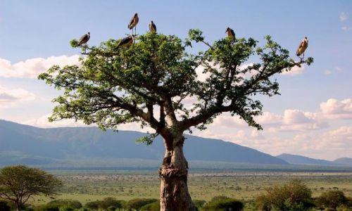 Zdjecie KENIA / brak / Park Narodowy Tsavo / drzewo