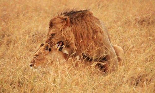 Zdjecie KENIA / brak / Park Masai Mara / ... swoboda ... i klik migawki ...