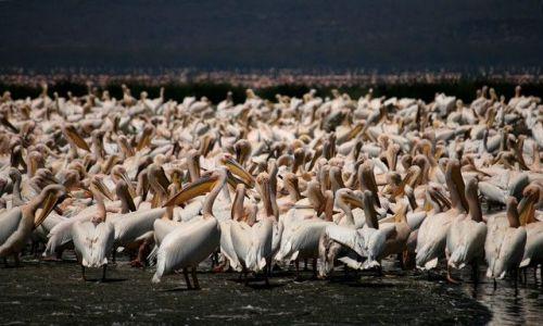 Zdjecie KENIA / brak / Lake Nakuru / ... swoboda ...