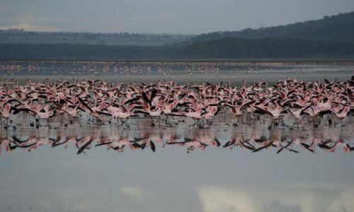 Zdjecie KENIA / brak / jezioro Nakuru / flamingi